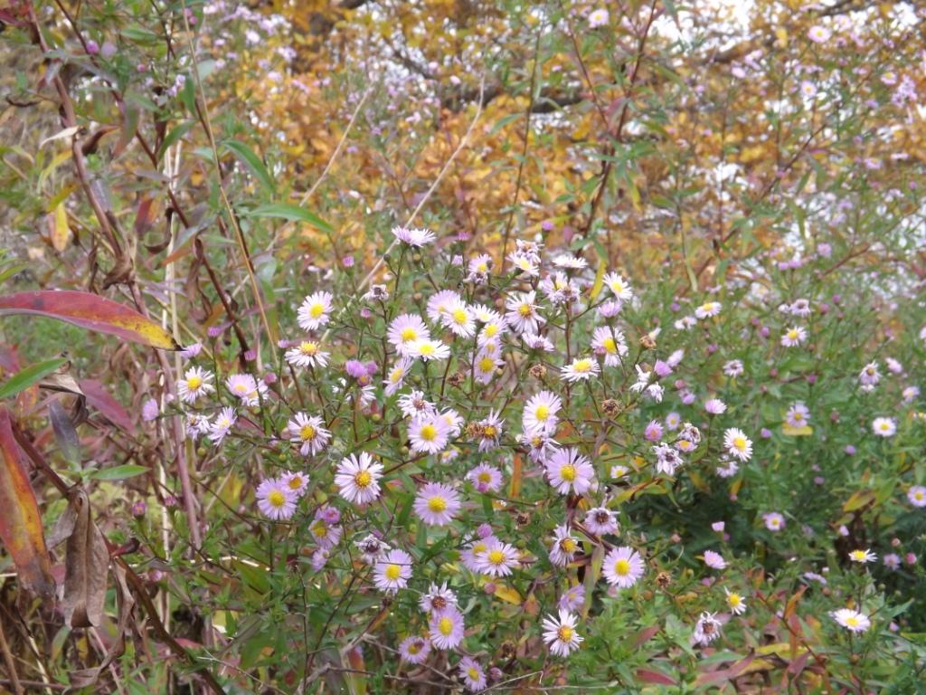 Цветы запоздалые